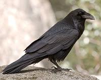 common_raven_sim_1 North american raven  -  A new proving of the blood of a North American Raven