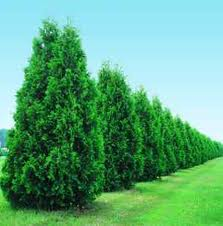thuja Thuja occidentalis in case of Constipation