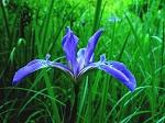 Irisversicolor Iris versicolor in case of Constipation