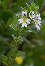 euphrasia-officinalis Euphrasia officinalis in case of Constipation