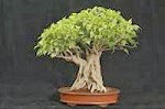 ficus Indian Homeopathic medicines and female disorders