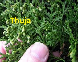 thuja-hiv-homeopathy-remedy Homeopathy Medicine for A.I.D.S.Acquired Immune Deficiency Syndrome