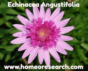 echinacea2-300x243 Echinacea